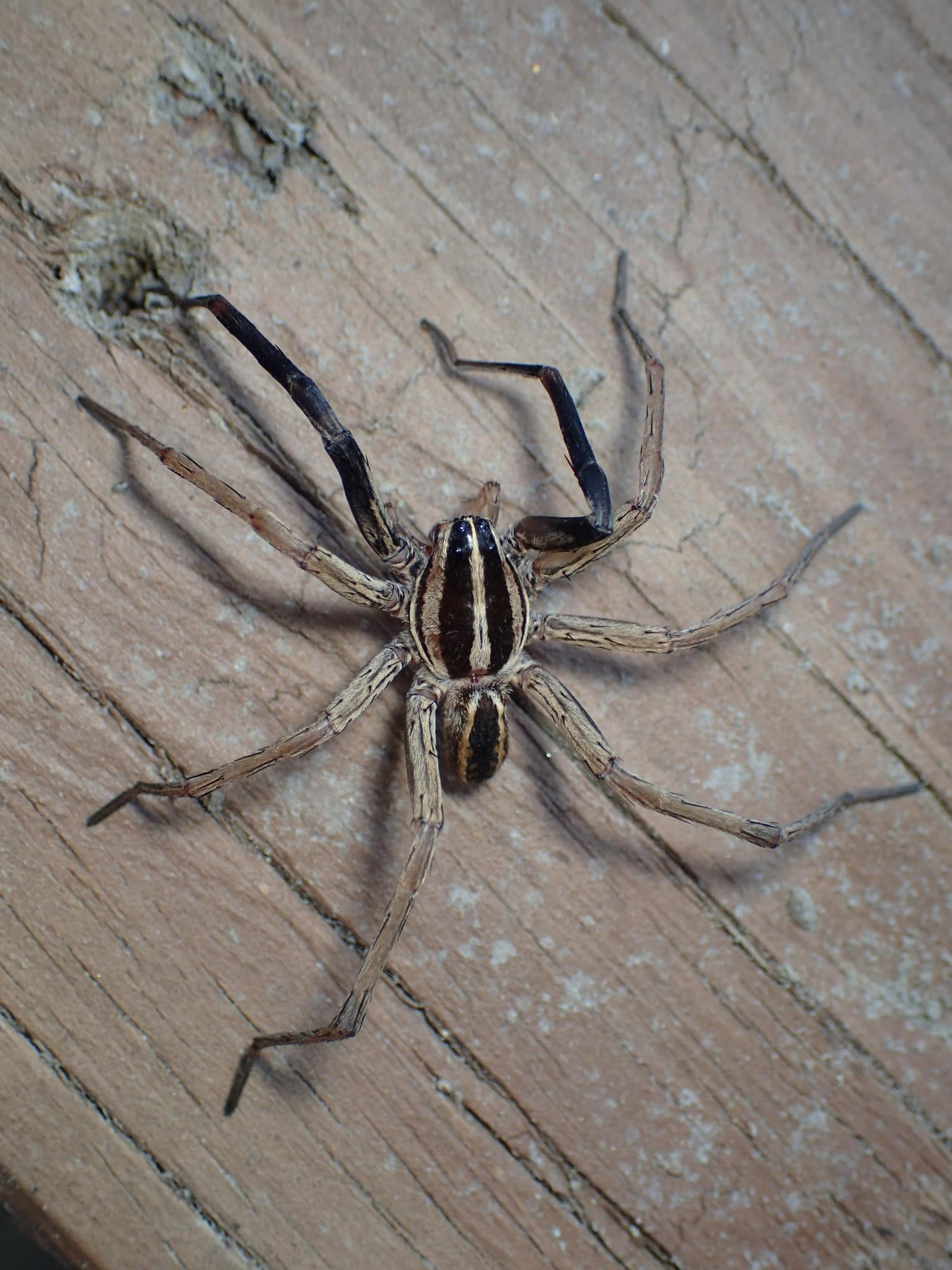Picture of Rabidosa rabida (Rabid Wolf Spider) - Male - Dorsal