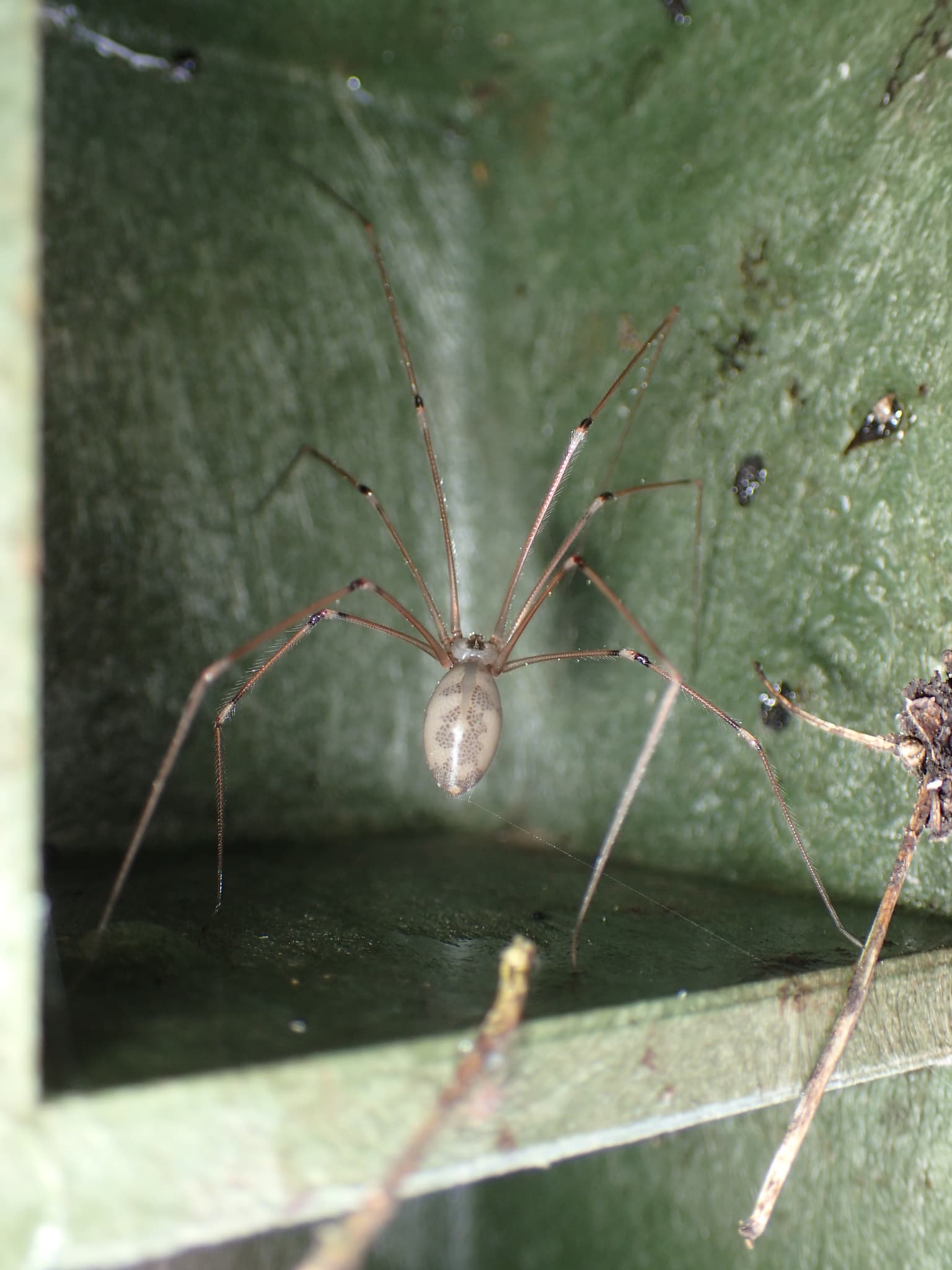 Picture of Pholcus phalangioides (Long-bodied Cellar Spider) - Female - Dorsal,Gravid