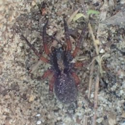 Featured spider picture of Trochosa sepulchralis