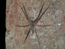 Picture of Pisaurina mira (Nursery Web Spider) - Dorsal