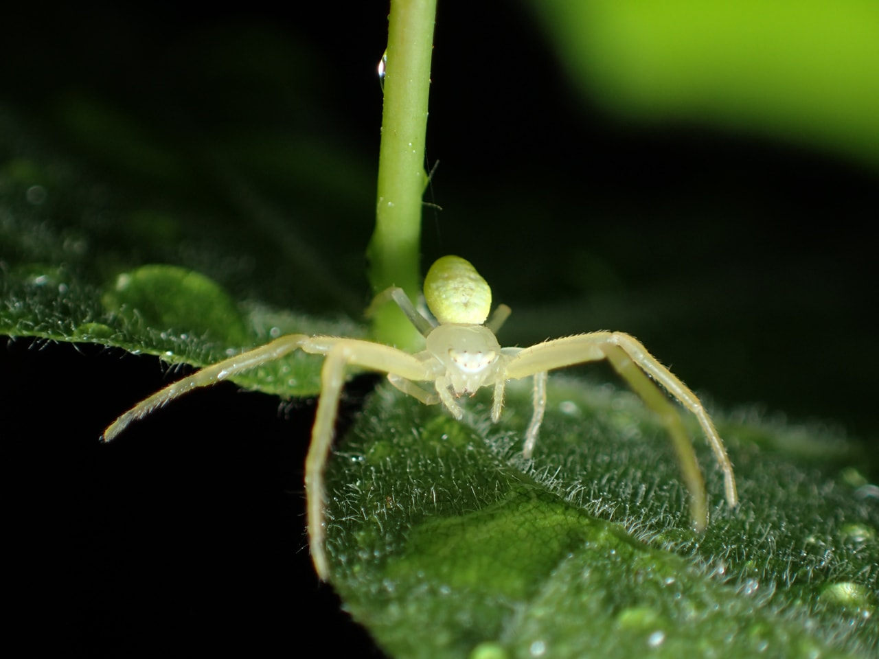 Picture of Misumessus oblongus (American Green Crab Spider) - Dorsal,Eyes