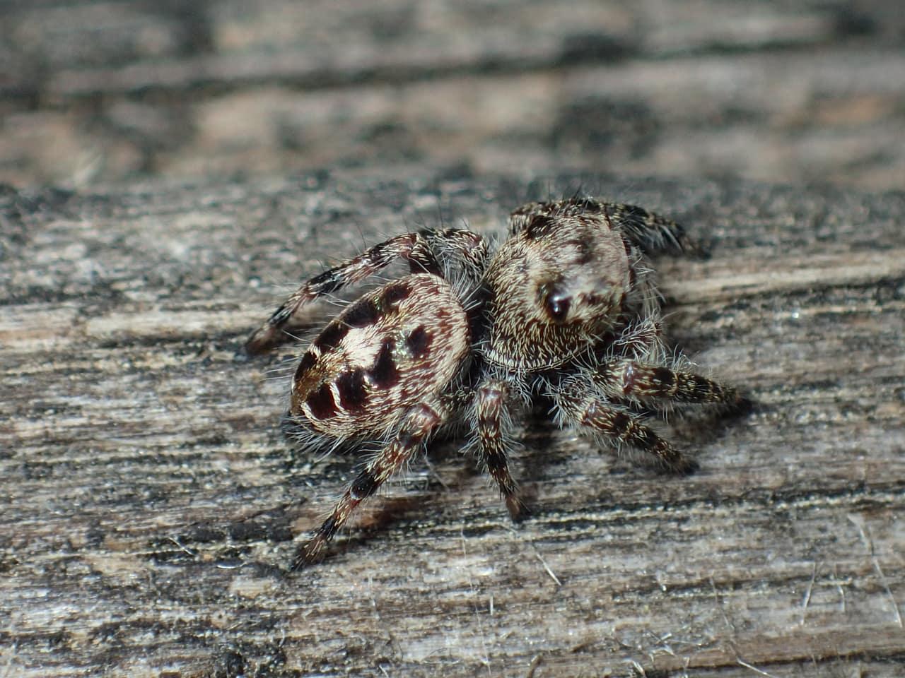 Picture of Phidippus putnami - Dorsal