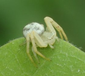 Picture of Mecaphesa spp. - Dorsal