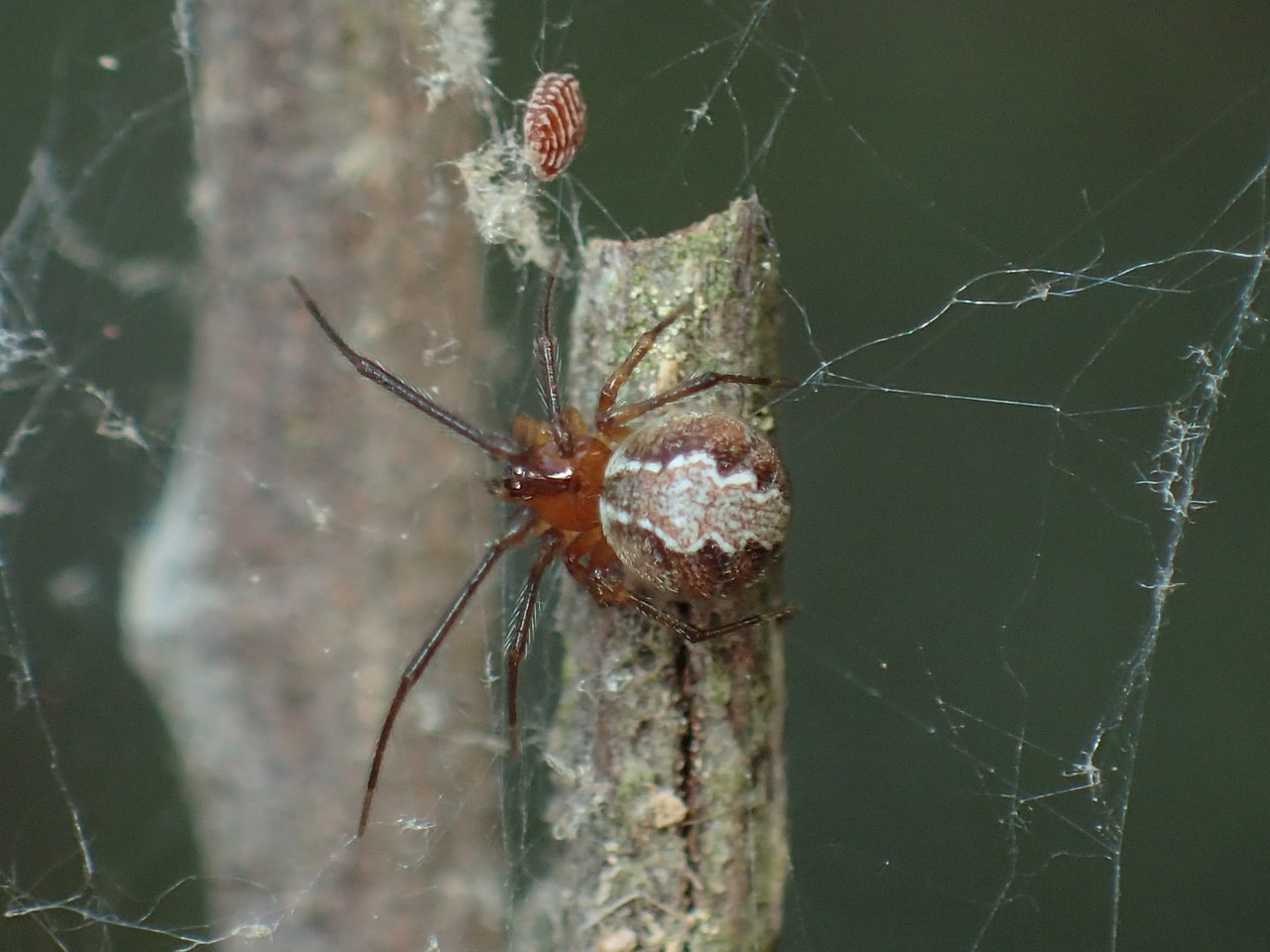 Picture of Theridion - Dorsal