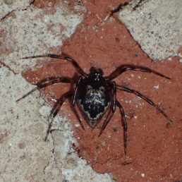Featured spider picture of Euryopis funebris