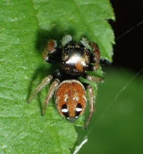 Picture of Phidippus whitmani - Dorsal