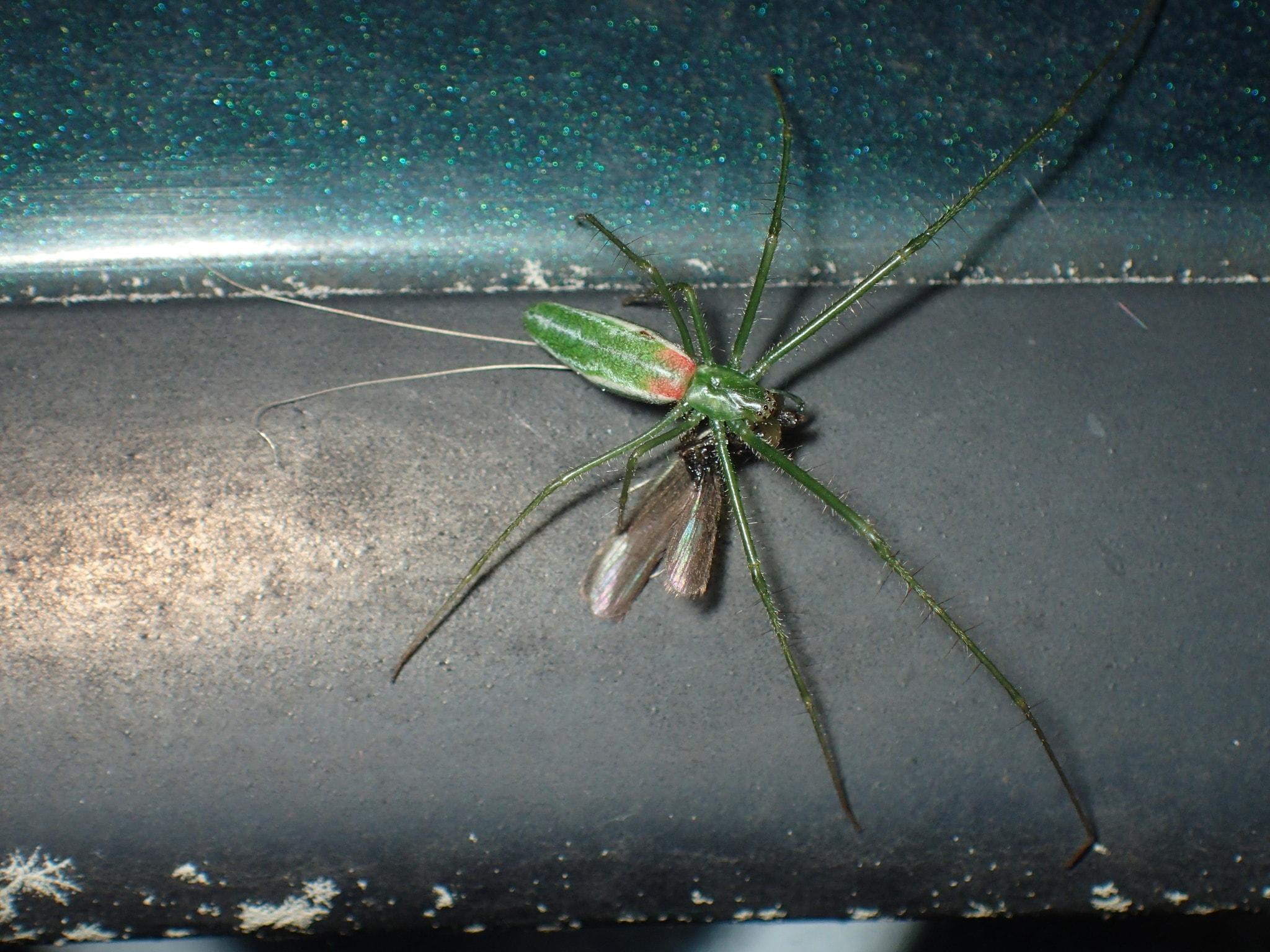 Picture of Tetragnatha viridis - Dorsal,Prey