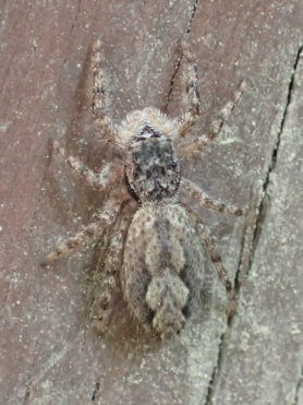 Picture of Platycryptus undatus (Tan Jumping Spider) - Female - Dorsal