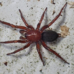 Featured spider picture of Gnaphosa sericata