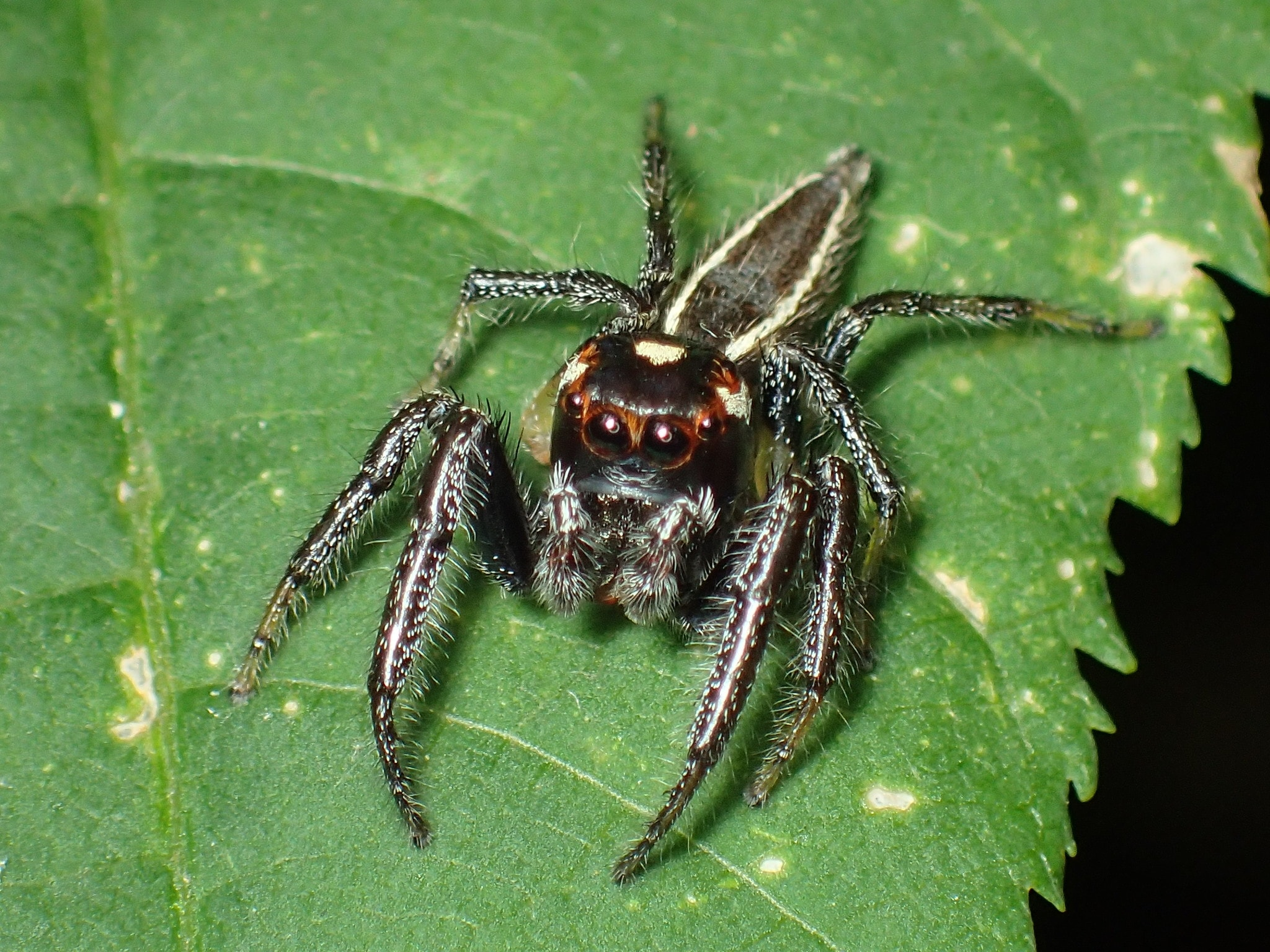 Picture of Colonus sylvanus (Sylvana Jumping Spider) - Male - Dorsal,Eyes