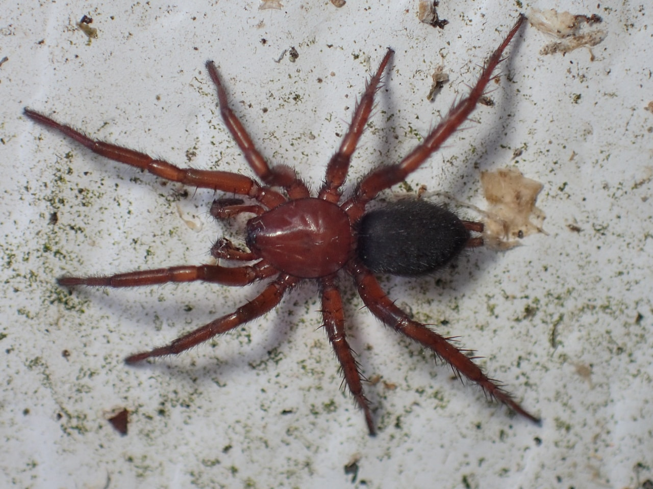 Picture of Gnaphosa sericata - Male - Dorsal