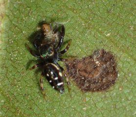 Picture of Paraphidippus aurantius (Emerald Jumping Spider) - Dorsal,Prey
