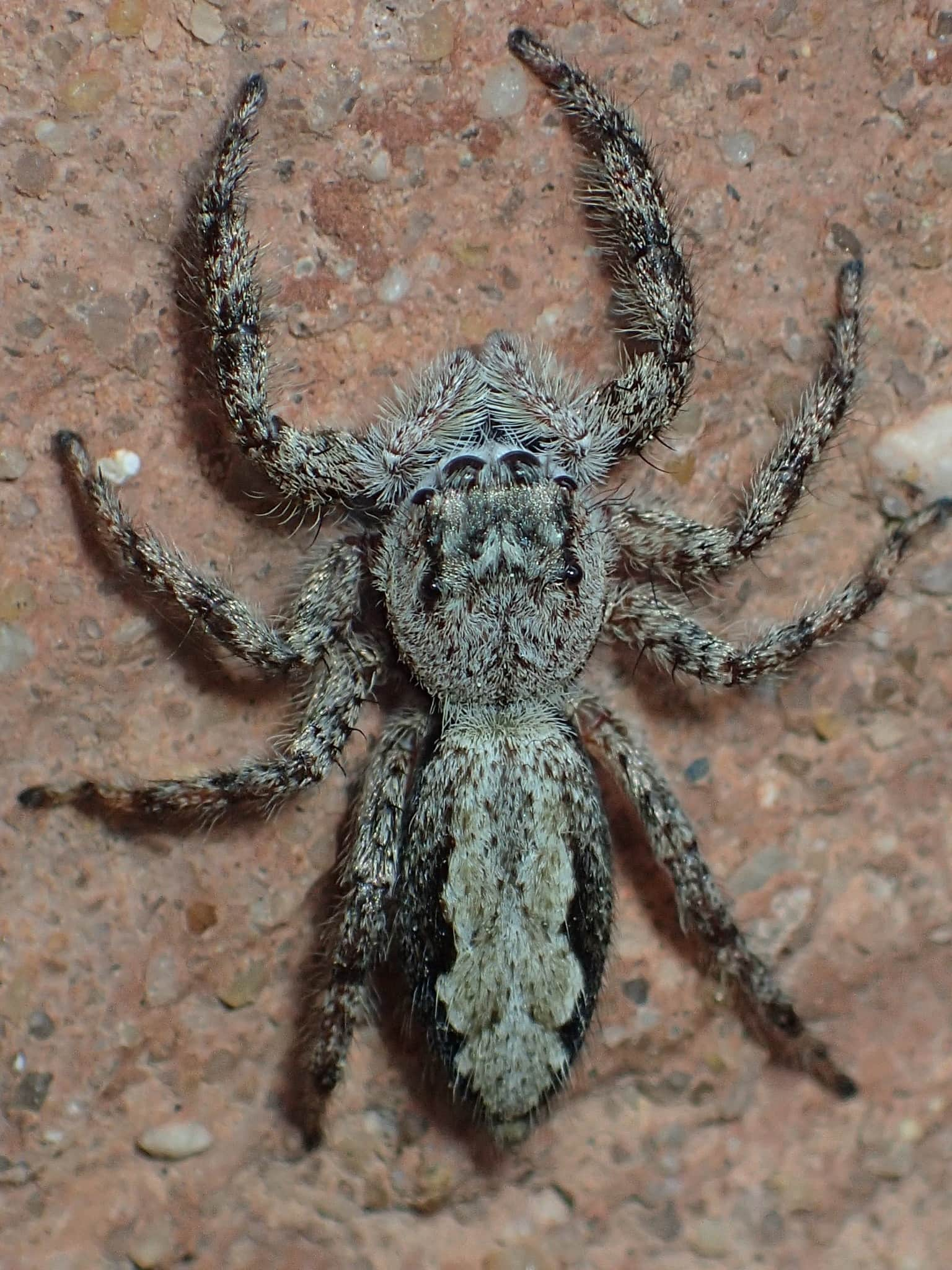 Picture of Platycryptus undatus (Tan Jumping Spider) - Female - Dorsal,Eyes