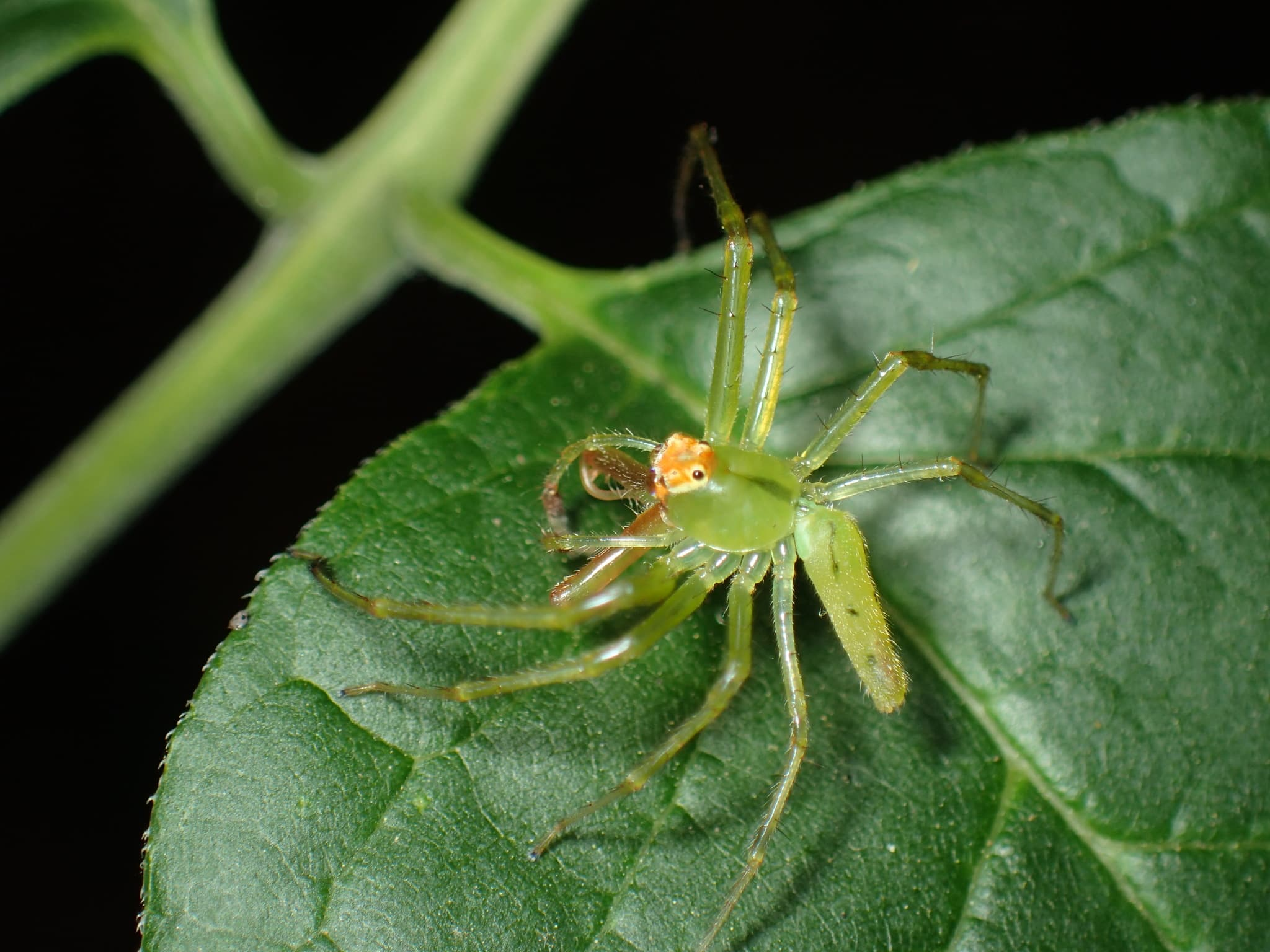 Picture of Lyssomanes viridis (Magnolia Green Jumper) - Male - Dorsal,Lateral
