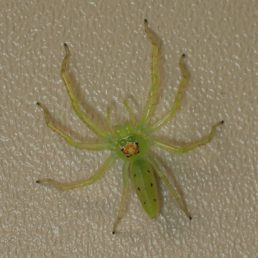 Featured spider picture of Lyssomanes viridis (Magnolia Green Jumper)
