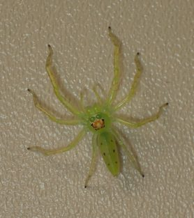 Picture of Lyssomanes viridis (Magnolia Green Jumper) - Female - Dorsal,Eyes