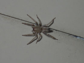 Picture of Clubionidae (Sac Spiders) - Dorsal