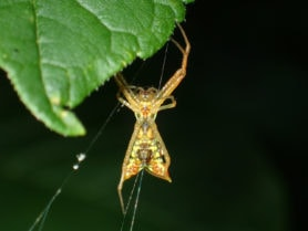 Picture of Micrathena sagittata (Arrow-shaped Micrathena) - Female - Ventral