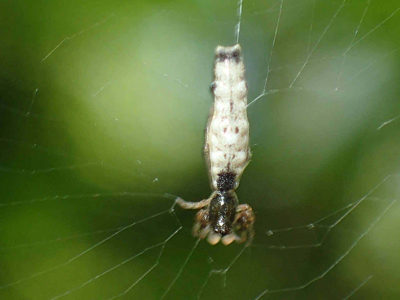 Picture of Micrathena gracilis (Spined Micrathena) - Male - Dorsal,Webs