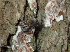 Picture of Naphrys pulex - Dorsal