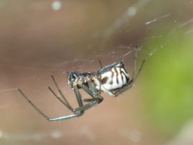 Picture of Frontinella pyramitela (Bowl and Doily Weaver) - Female - Lateral,Webs