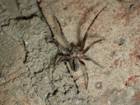 Picture of Eustala anastera (Hump-backed Orb-weaver) - Male - Dorsal