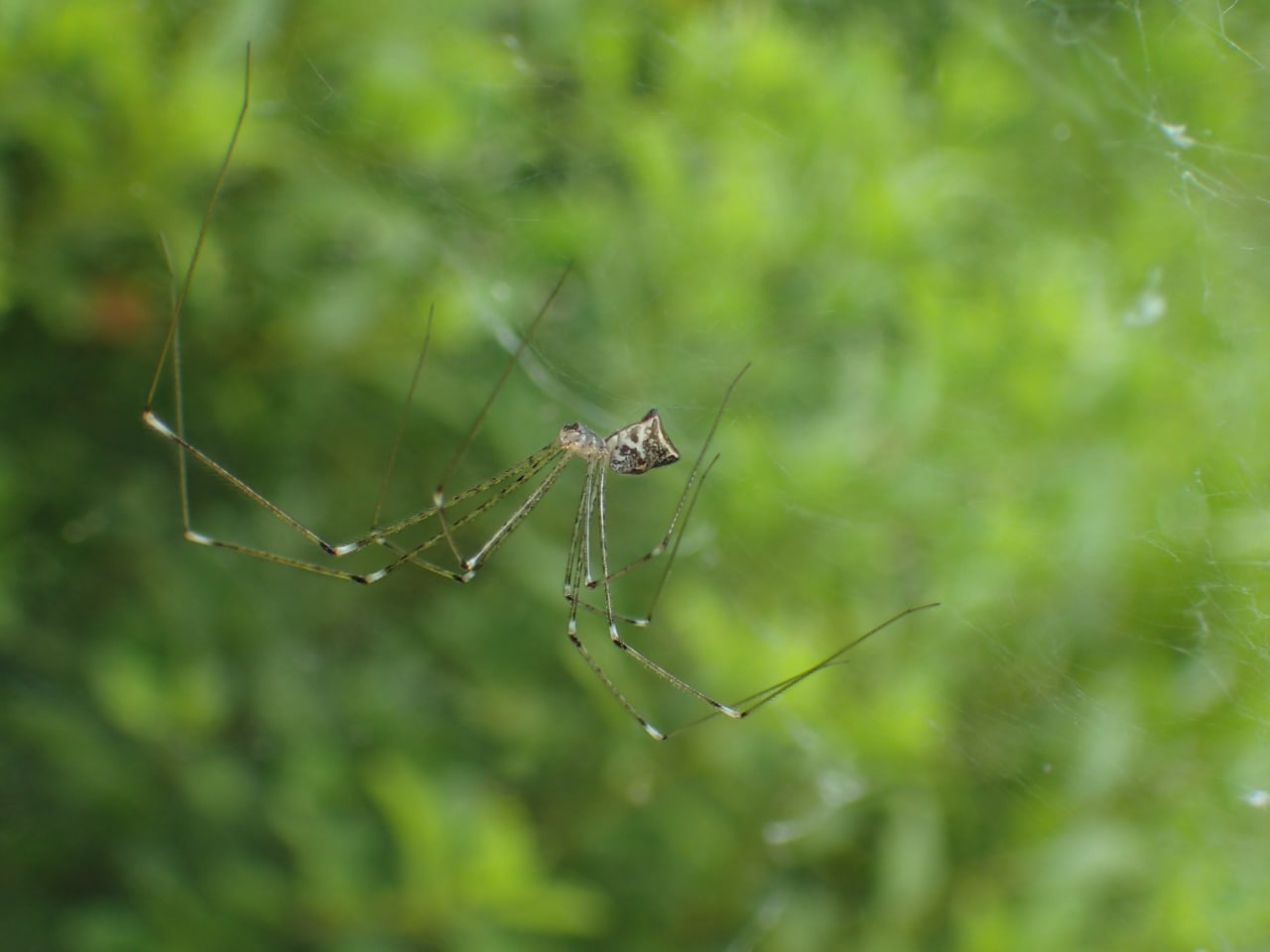 Picture of Crossopriza lyoni (Tailed Daddy Longlegs) - Lateral