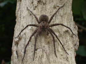Picture of Dolomedes vittatus - Eyes