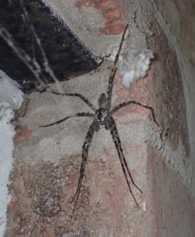 Picture of Dolomedes albineus (White-banded Fishing Spider) - Male - Dorsal