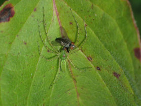 Picture of Peucetia viridans (Green Lynx Spider) - Female - Dorsal,Prey