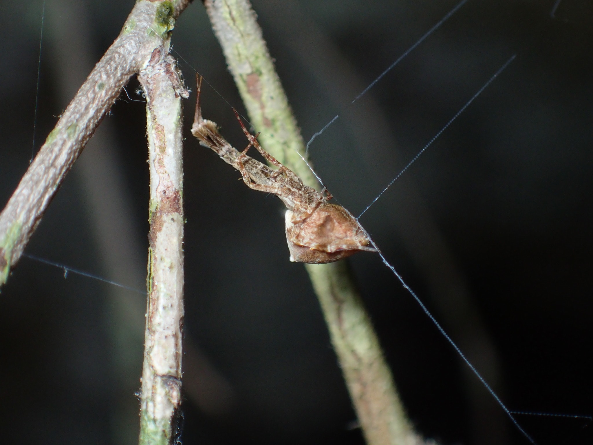 Picture of Uloborus glomosus (Feather-legged Orb-weaver) - Lateral,Webs