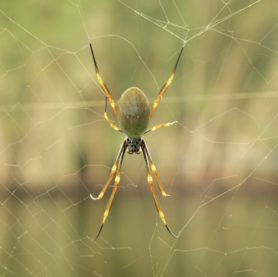 Picture of Nephila spp. (Golden Silk Orb-weavers) - Female - Dorsal,Webs