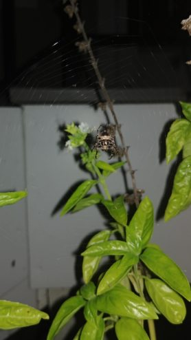 Picture of Acanthepeira stellata (Star-bellied Orb-weaver) - Dorsal,Webs