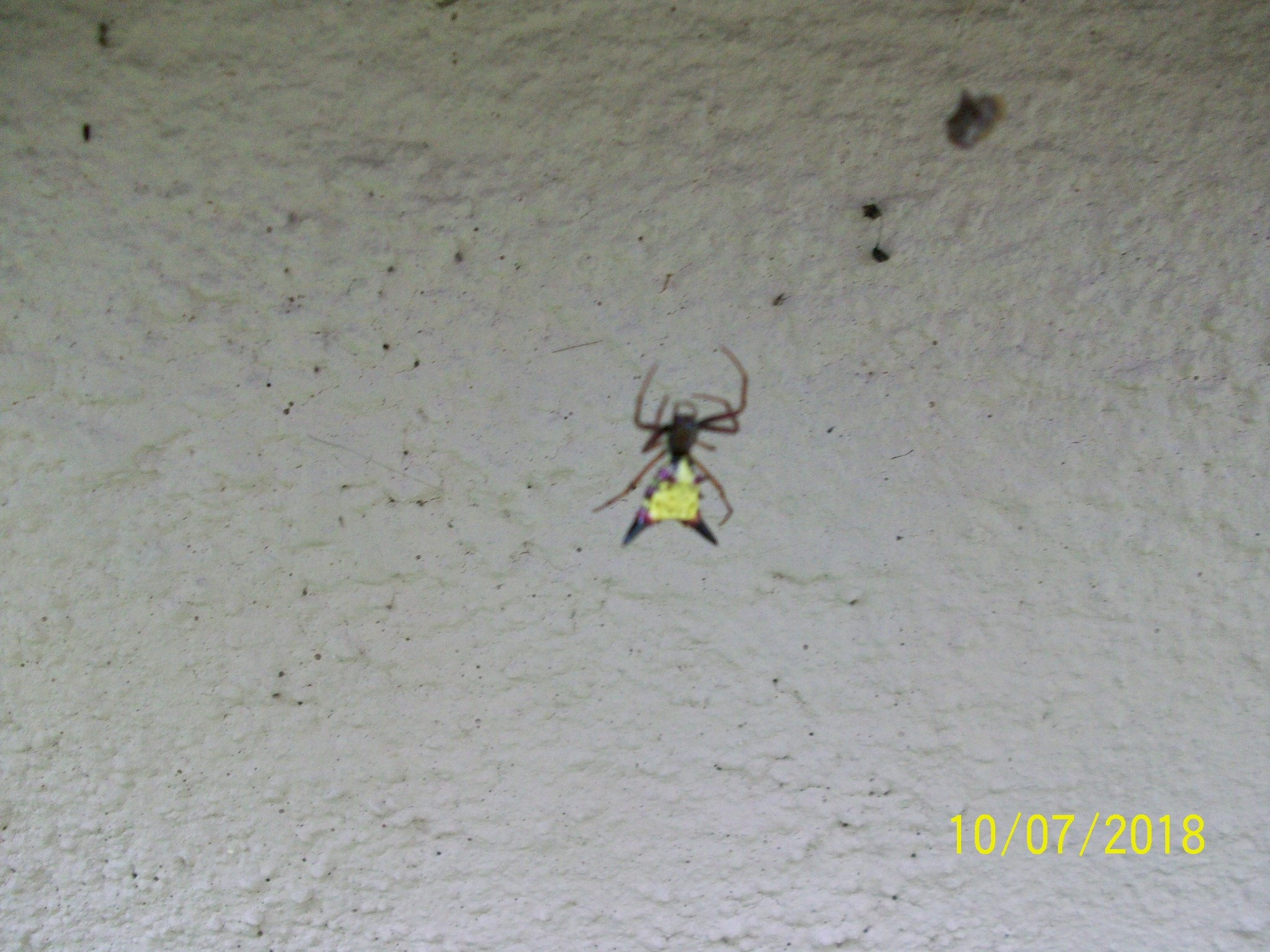 Picture of Micrathena sagittata (Arrow-shaped Micrathena) - Dorsal