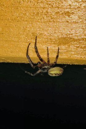 Picture of Larinioides cornutus (Furrow Orb-weaver) - Male - Lateral