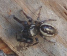 Picture of Eris militaris (Bronze Jumper) - Male - Dorsal