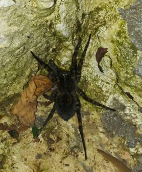 Picture of Tigrosa aspersa (Tiger Wolf Spider) - Female - Dorsal