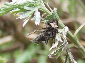 Picture of Eriophora pustulosa (Garden Orb-weaver Spider) - Male - Dorsal,Prey