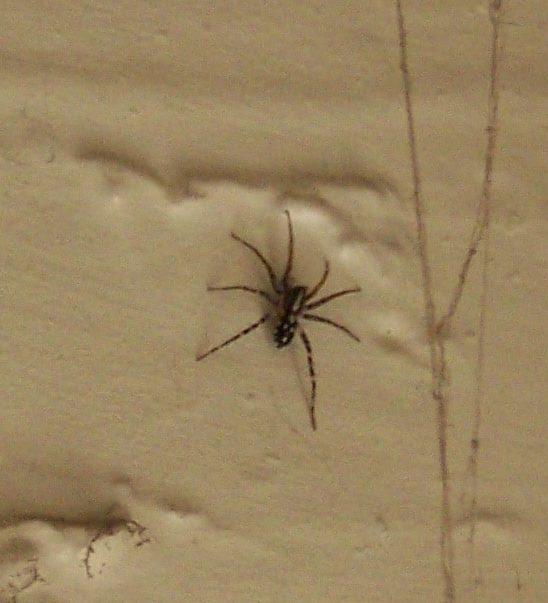 Picture of Nyssus coloripes (Orange-legged Swift Spider) - Dorsal