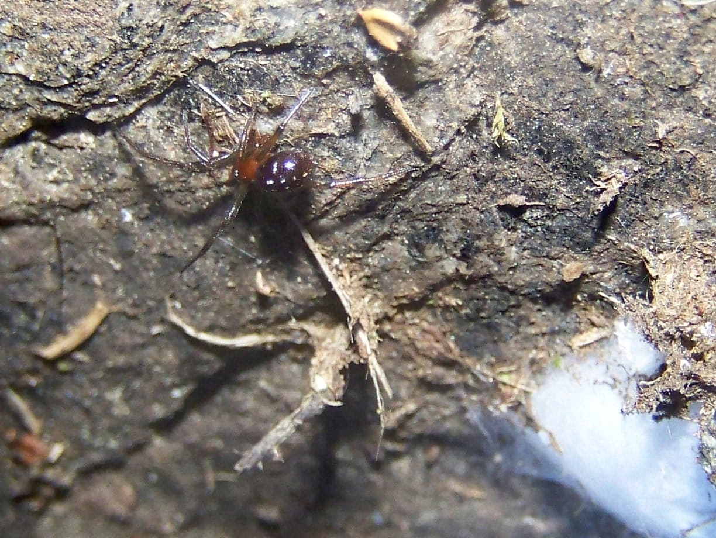 Picture of Steatoda capensis (False Katipo Spider) - Lateral
