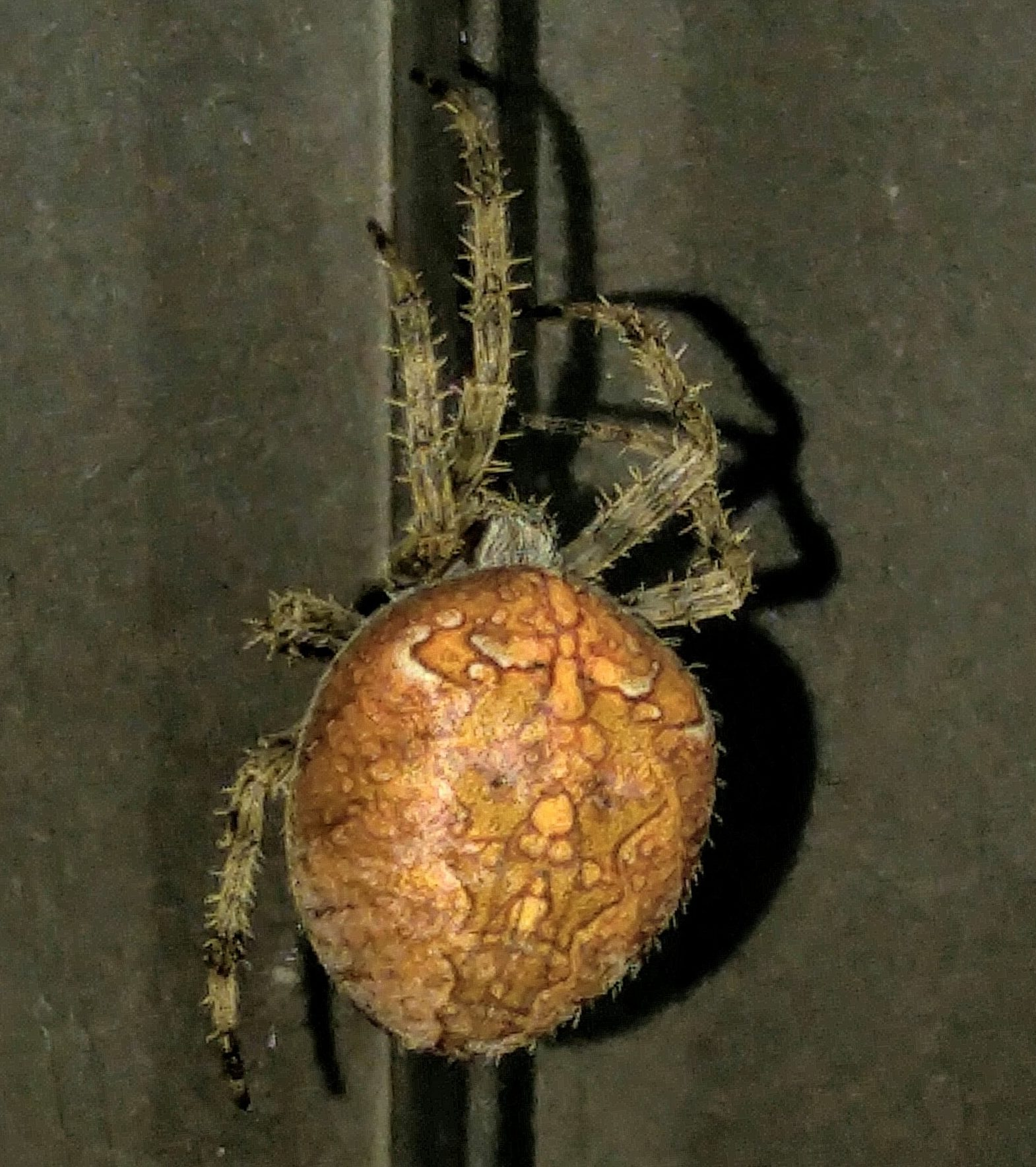 Picture of Araneus diadematus (Cross Orb-weaver) - Female - Dorsal,Gravid