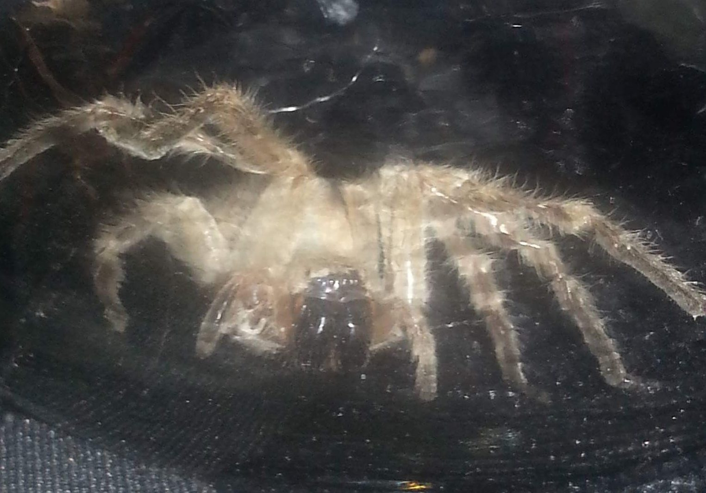 Picture of Olios giganteus (Giant Crab Spider) - Eyes