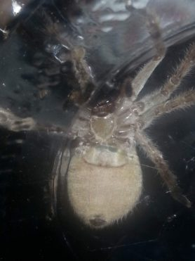 Picture of Olios giganteus (Giant Crab Spider) - Ventral