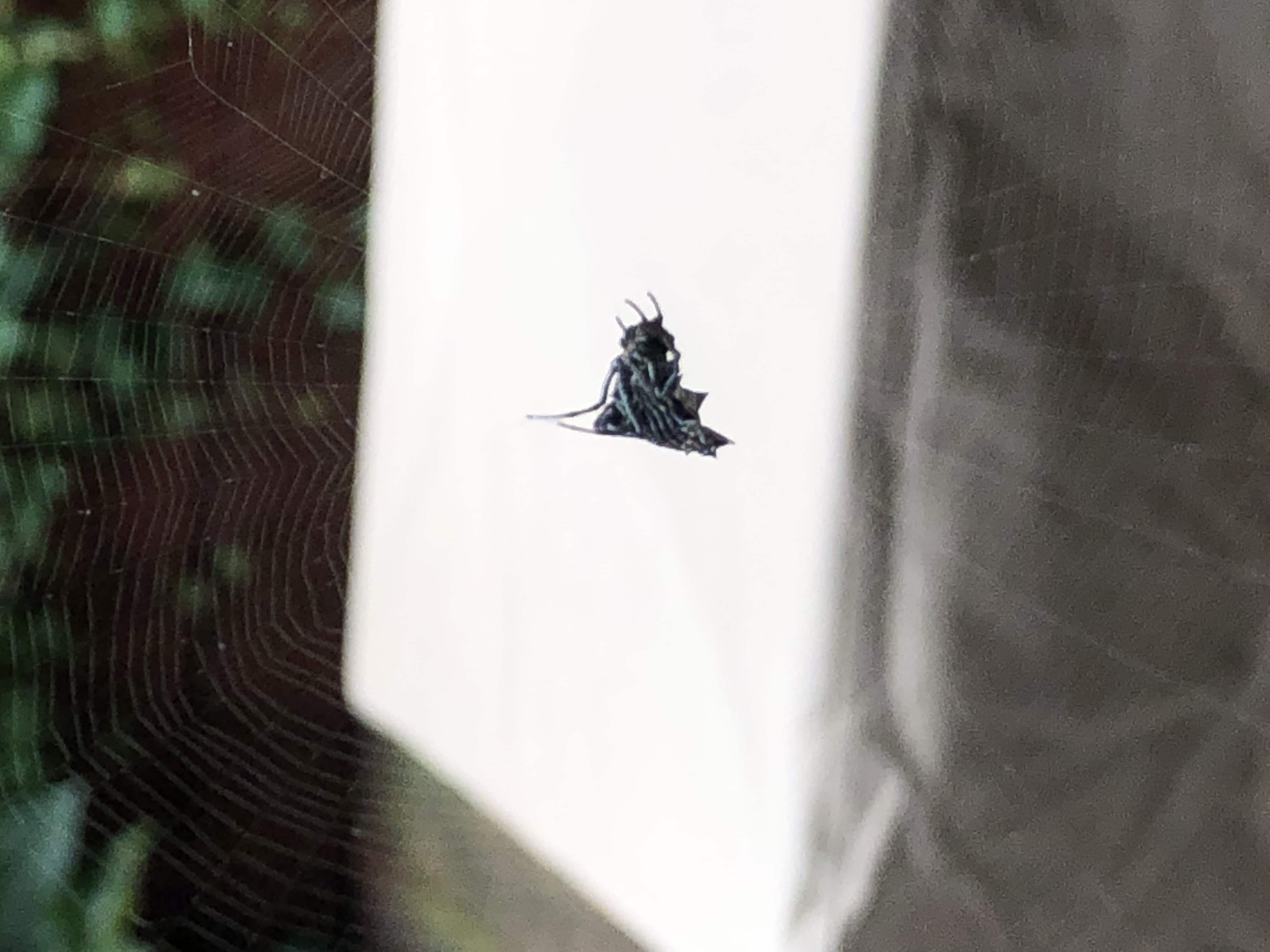 Picture of Micrathena gracilis (Spined Micrathena) - Lateral,Webs