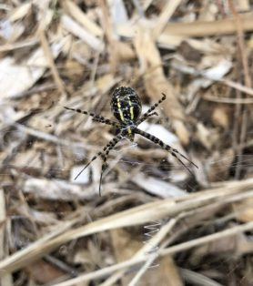 Picture of Argiope trifasciata (Banded Garden Spider) - Ventral,Webs