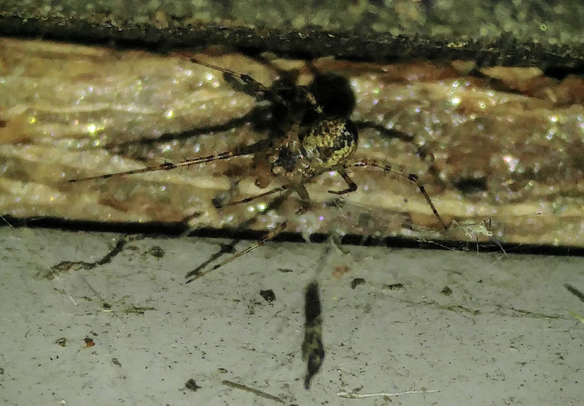 Picture of Pityohyphantes costatus (Hammock Spider) - Male - Ventral