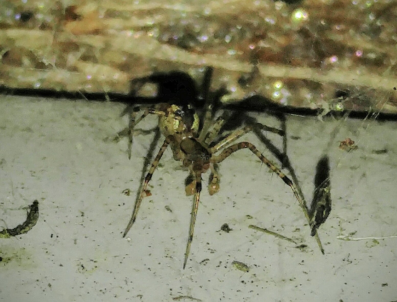 Picture of Pityohyphantes costatus (Hammock Spider) - Male - Lateral,Webs