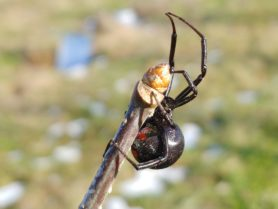 Picture of Latrodectus mactans (Southern Black Widow) - Female - Lateral,Ventral