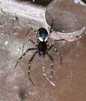 Picture of Neriene montana ( Old World Dome Sheet-web Weaver ) - Dorsal