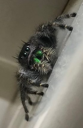 Picture of Phidippus spp. - Eyes